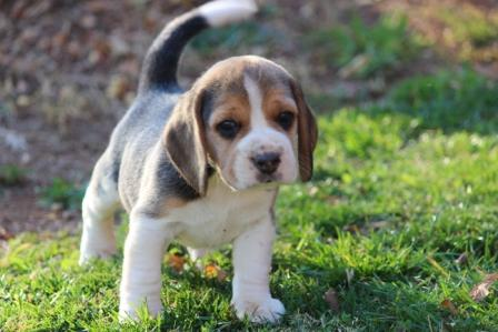 Tri-colour Beagle puppies for sale or expected litters of our Beagles: