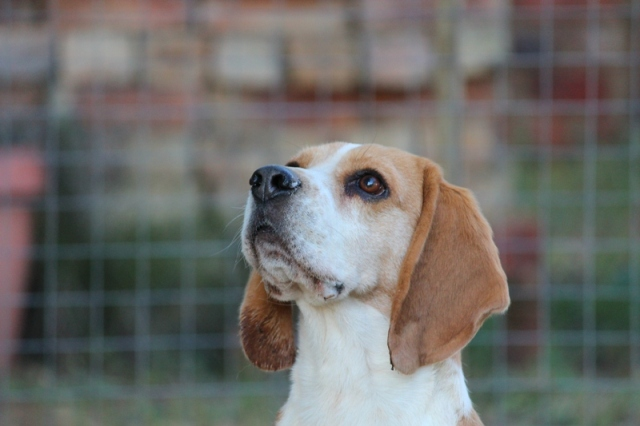 Bo Beagle dog stud
