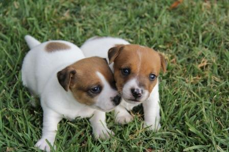 Jack Russell Terrier Smooth Coat Short Legged Puppies For Sale