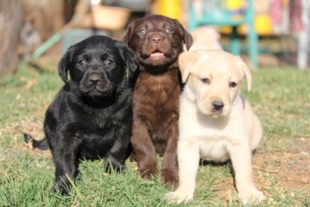 lab dog breeds