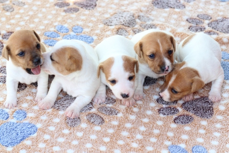 Lovely brown and white Jack Russel puppies for sale ...